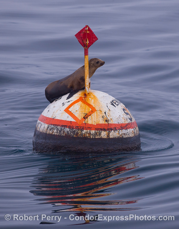 A young California Sea Lion (Zalophus californianus) on the buoy marking the underwater gas collecting seep tents.