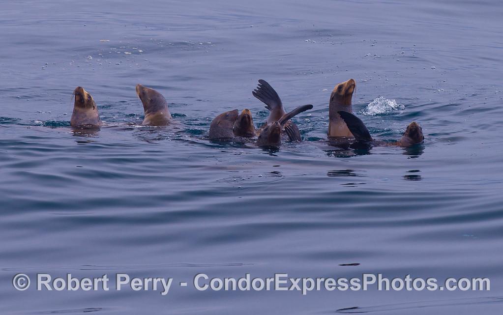 A raft of California Sea Lions (Zalophus californianus).