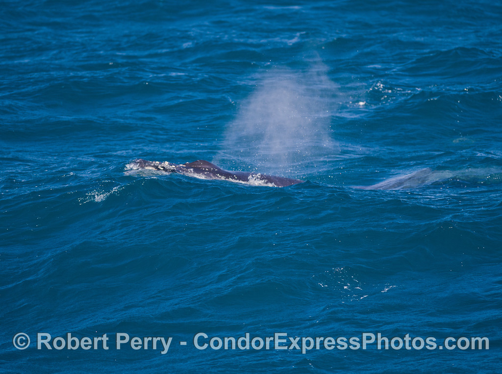 Humpback Whale (Megaptera novaeangliae) spouts in the breeze.