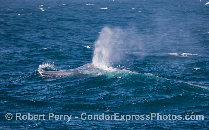 Windy day - Blue Whale (Balaenoptera musculus).