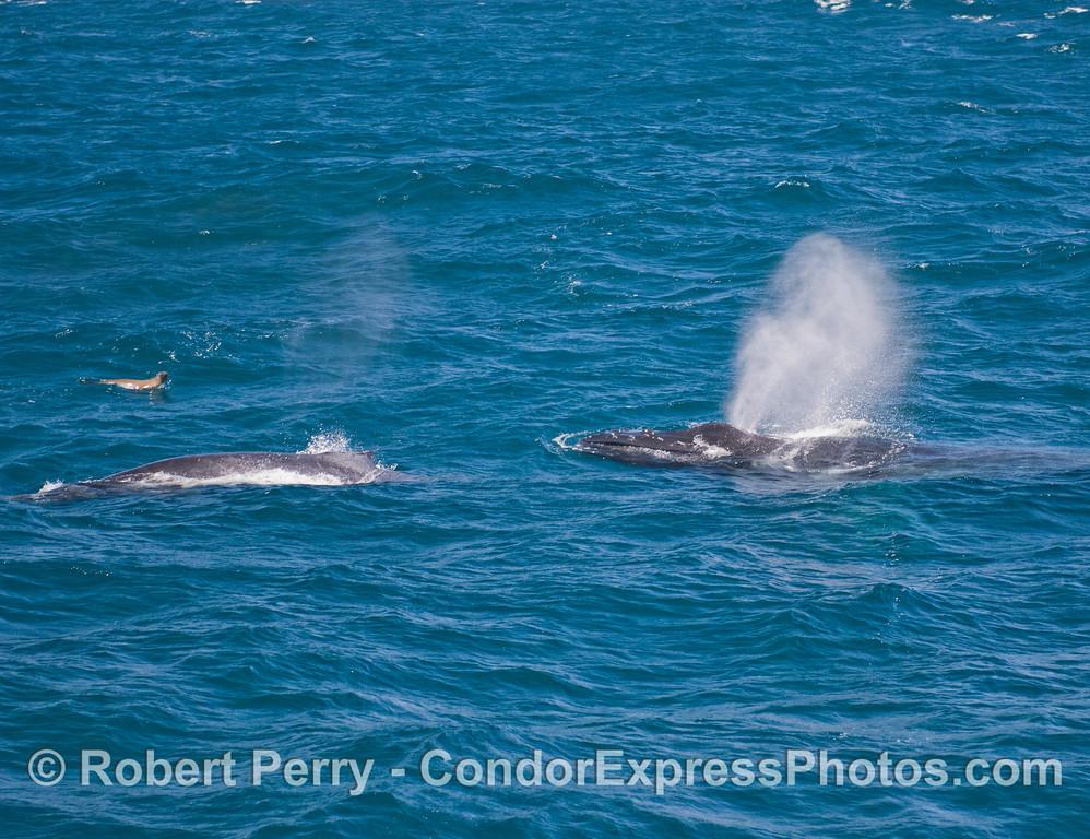 Mother and calf Humpback Whales (Megaptera novaeangliae), and a California Sea Lion (Zalophus californianus)