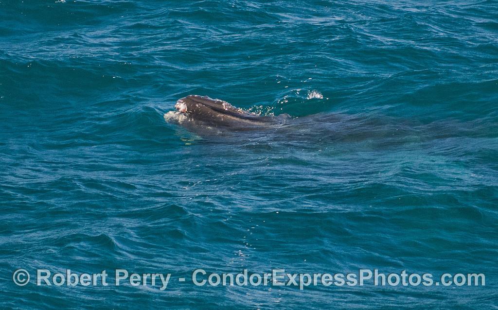 Tip of the rostrum of a juvenile Humpback Whale (Megaptera novaeangliae).