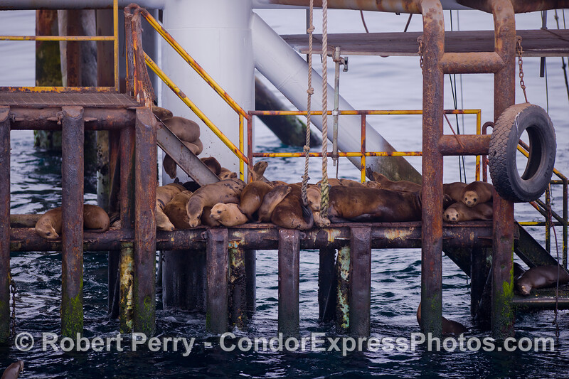 California Sea Lions (Zalophus californianus) jam the stairs on Platform Holly.