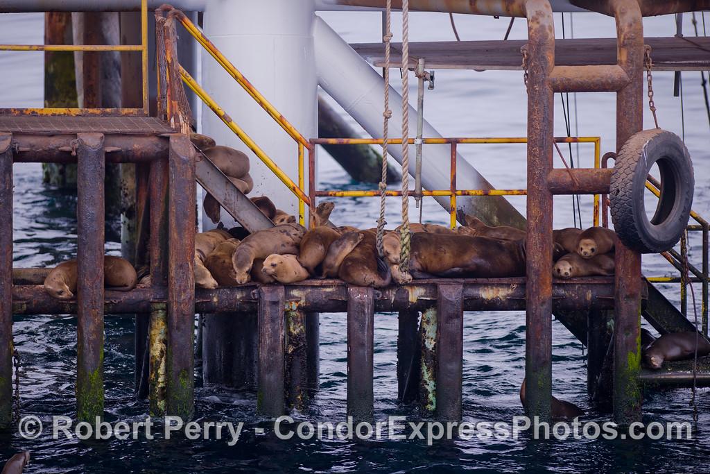 California Sea Lions (Zalophus californianus) jam the stairs on Platform Holly.