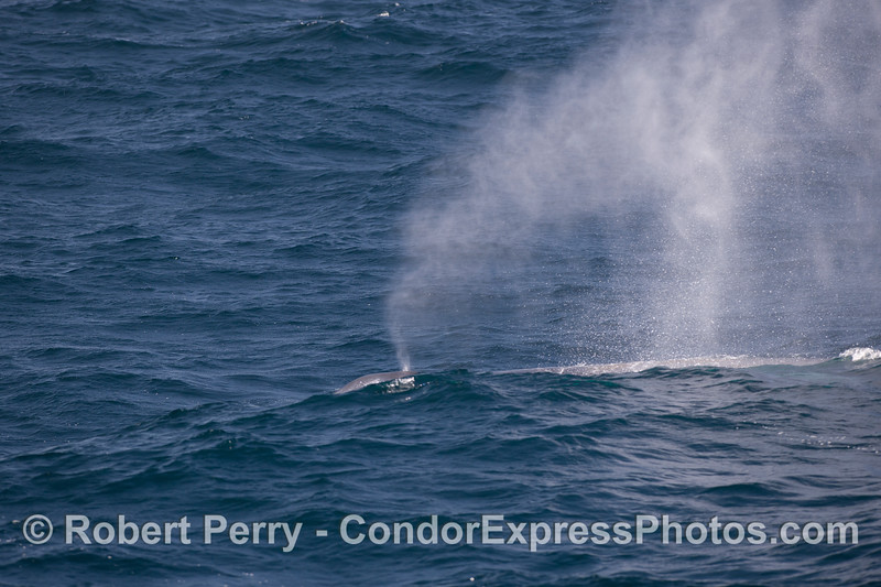 Blue Whale (Balaenoptera musculus) spouting behind the waves on a windy day.
