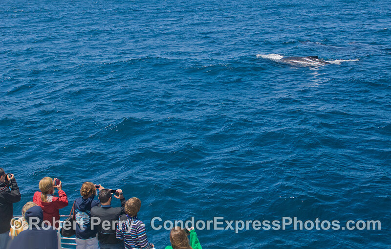 Whalers on board the Condor Express get good looks at a Humpback Whale (Megaptera novaeangliae).