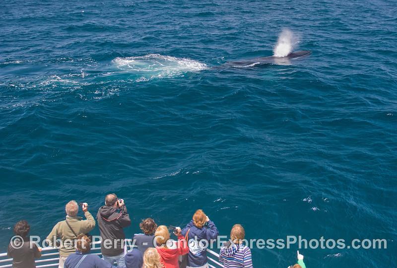 Humpback Whale (Megaptera novaeangliae) makes a friendly approach.