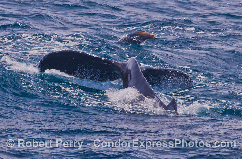 Humpback Whale (Megaptera novaeangliae) tail and California Sea Lion (Zalophus californianus).