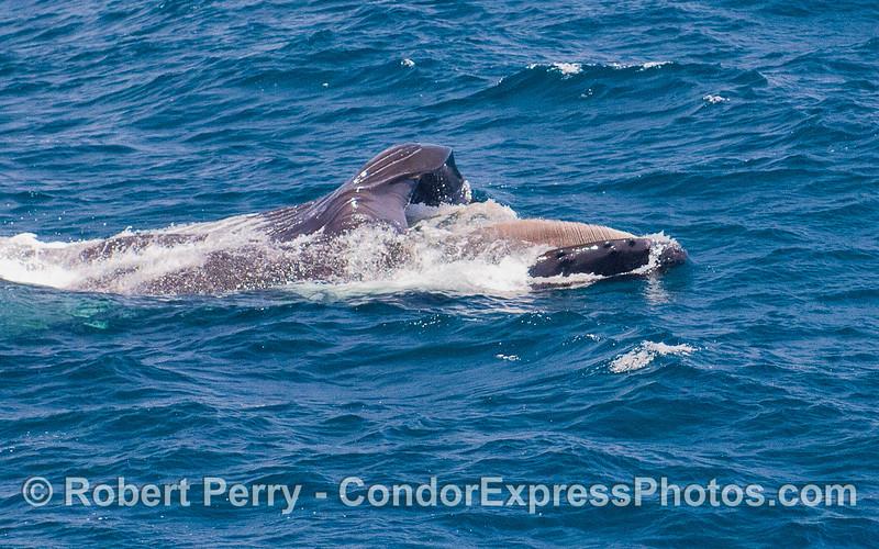 Humpback Whale (Megaptera novaeangliae) lunge feeding, baleen visible.
