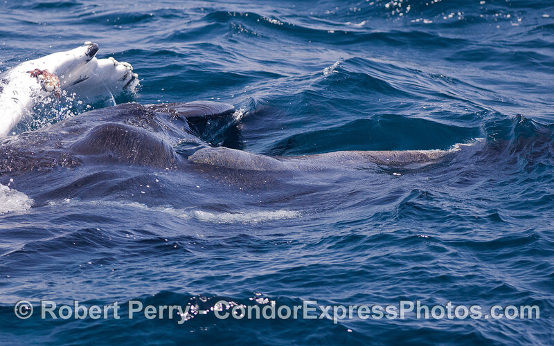 Close up look at a lunge feeding Humpback Whale (Megaptera novaeangliae) with mouth open and baleen visible.