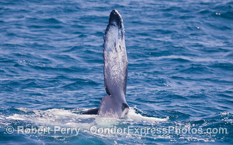 Perpendicular tail of a Humpback Whale (Megaptera novaeangliae).  This whale is on its side, feeding.