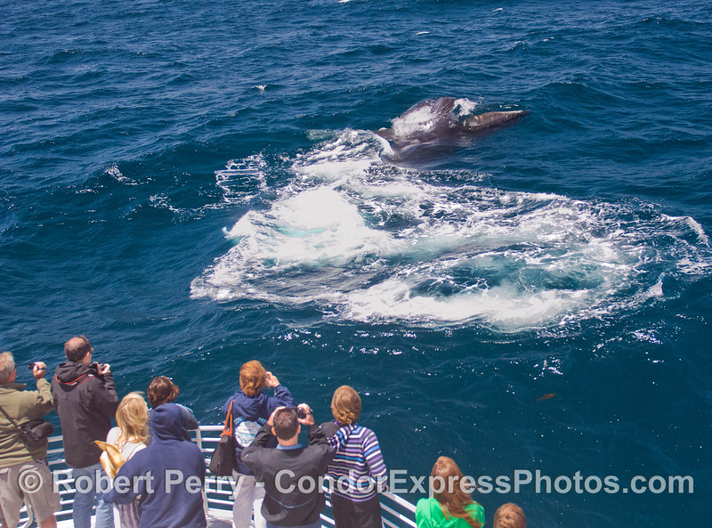 Sideways, mouth open, baleen exposed, this Humpback Whale (Megaptera novaeangliae) lunge-feeds on the surface directly in front of the Condor Express.