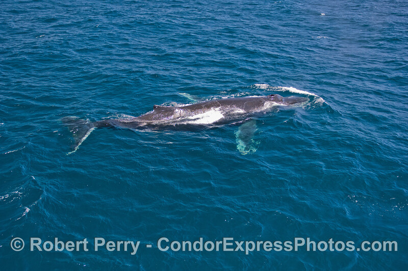 Humpback Whale (Megaptera novaeangliae) - full body in clear water.