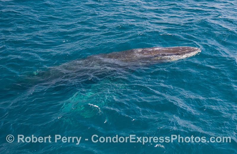 Humpback Whale (Megaptera novaeangliae) - whole body visible.