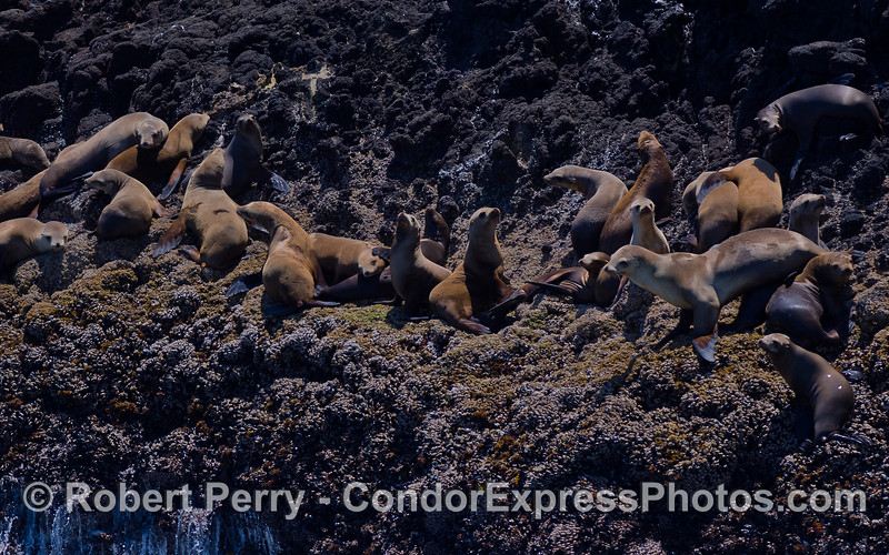 California Sea Lions (Zalophus californianus) hauled out on the rocky cliffs of Santa Cruz Island.