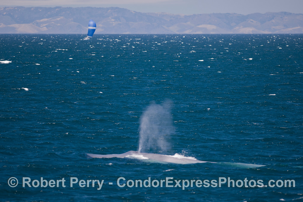 Blue Whale (Balaenoptera musculus), sailboat, mainland coast.
