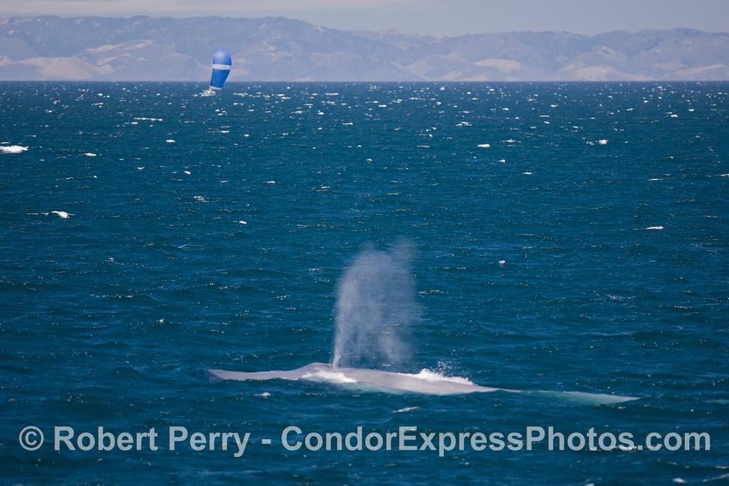 Blue Whale (Balaenoptera musculus), sailboat, mainland coast.
