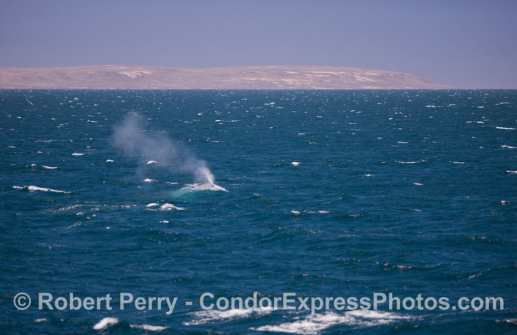 Blue Whale (Balaenoptera musculus) and the west end of Santa Rosa Island.