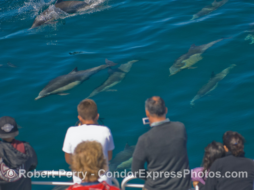 The Common Dolphin (Delphinus capensis) herd makes a friendly approach.