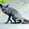 A fox spotted on the Connaught Hill road by Citizen photoographer Brent Braaten Wednesday morning. Two foxes have been seen around the park. Citizen photo by Brent Braaten       June 15 2011