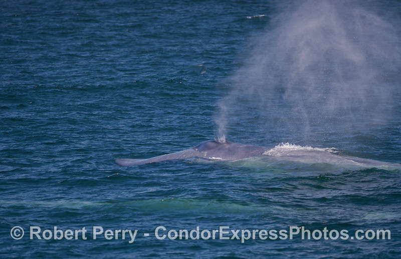 A Blue Whale (Balaenoptera musculus) mother and her calf (still underwater).