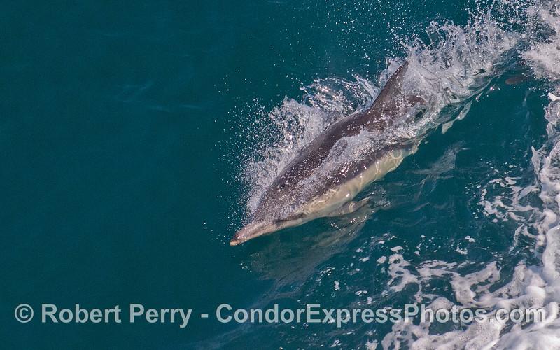 A Common Dolphin (Delphinus capensis).