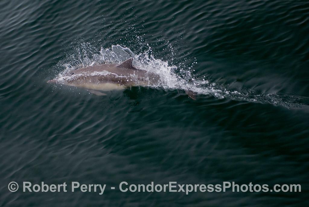 Common Dolphin (Delphinus capensis) torpedo.