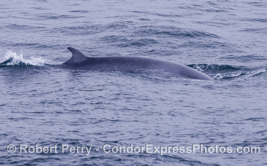 Minke Whale (Balaenoptera acutorostrata).  There appears to be an eel attached to the head of this whale.