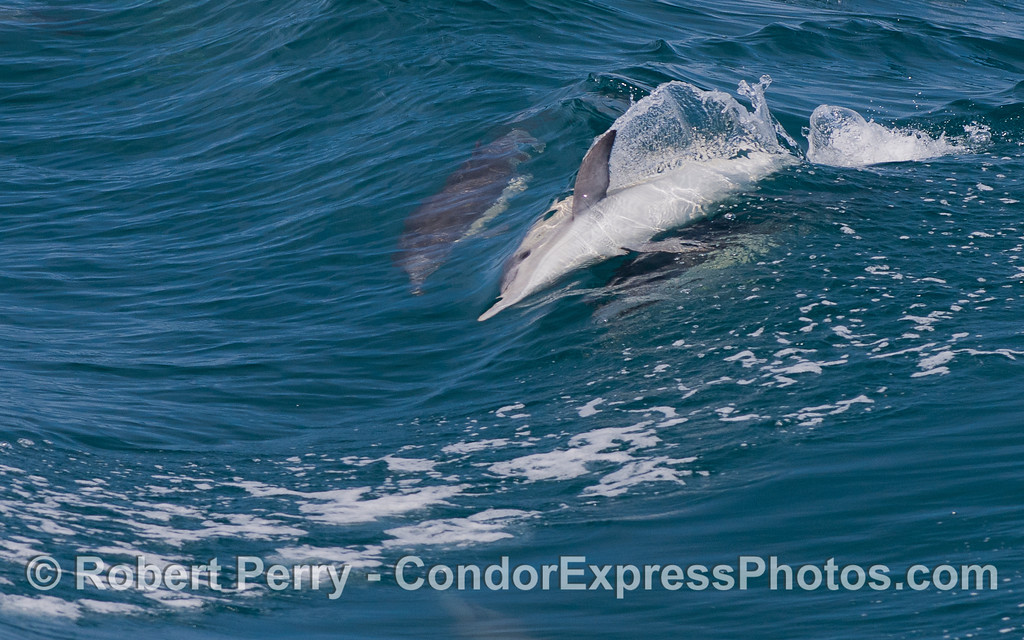 Image 1 of 2:  A Common Dolphin (Delphinus capensis) shows off its skill as a sideways body surfer.