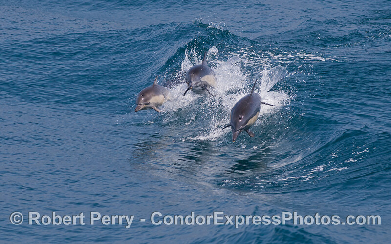 A trio of leaping Common Dolphins (Delphinus capensis) - the previous photo shows a zoomed-in view.