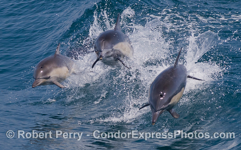 A trio of leaping Common Dolphins (Delphinus capensis) - zoomed-in.  The next photo shows a wide angle view.