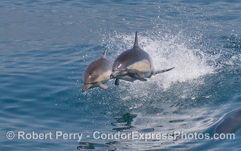 Twin leaping Common Dolphins (Delphinus capensis).