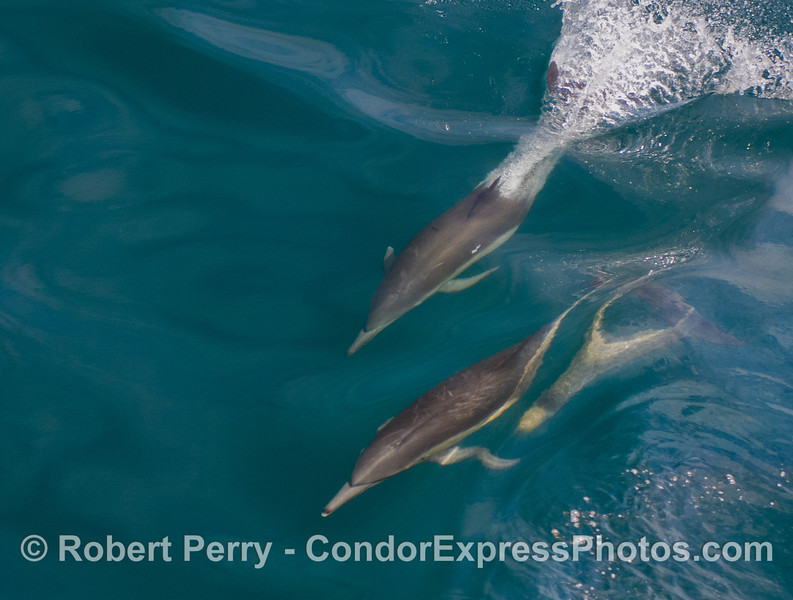 Common Dolphins (Delphinus capensis).  I like the magnified ghost dolphin head inside the wave on the right.