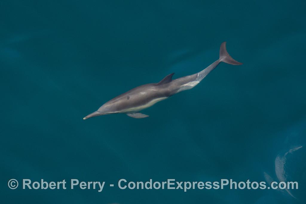 Another Common Dolphins (Delphinus capensis) underwater portrait.