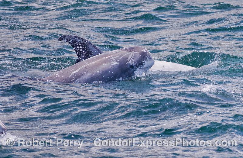Risso's Dolphins (Grampus griseus).