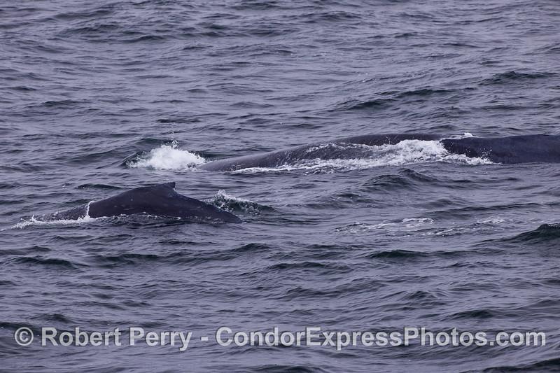Humpback Whales (Megaptera novaeangliae) - Calf and Mom.