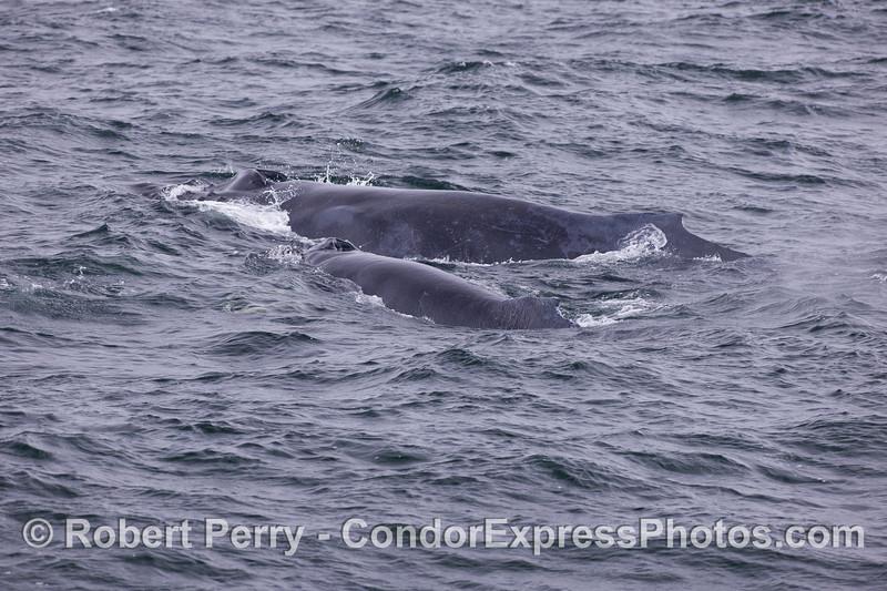 Mom and calf - Humpback Whales (Megaptera novaeangliae).