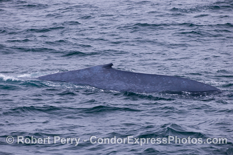 Blue Whale (Balaenoptera musculus).