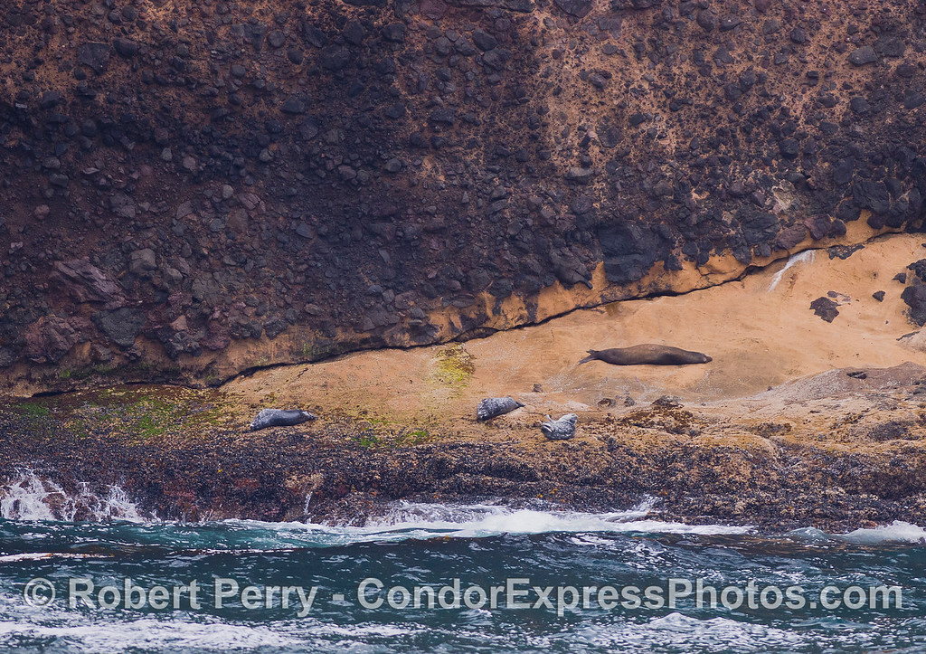 Three Harbor Seals (Phoca vitulina) and a California Sea Lion (Zalophus californianus) at Santa Cruz Island.