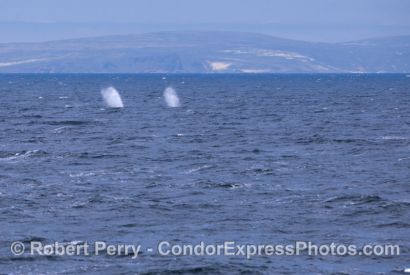 Twin spouts - Humpback Whales (Megaptera novaeangliae) with San MIguel Island in back.