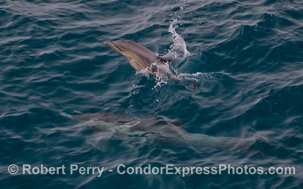 Image #2 of the little juvenile Common Dolphin (Delphinus capensis).