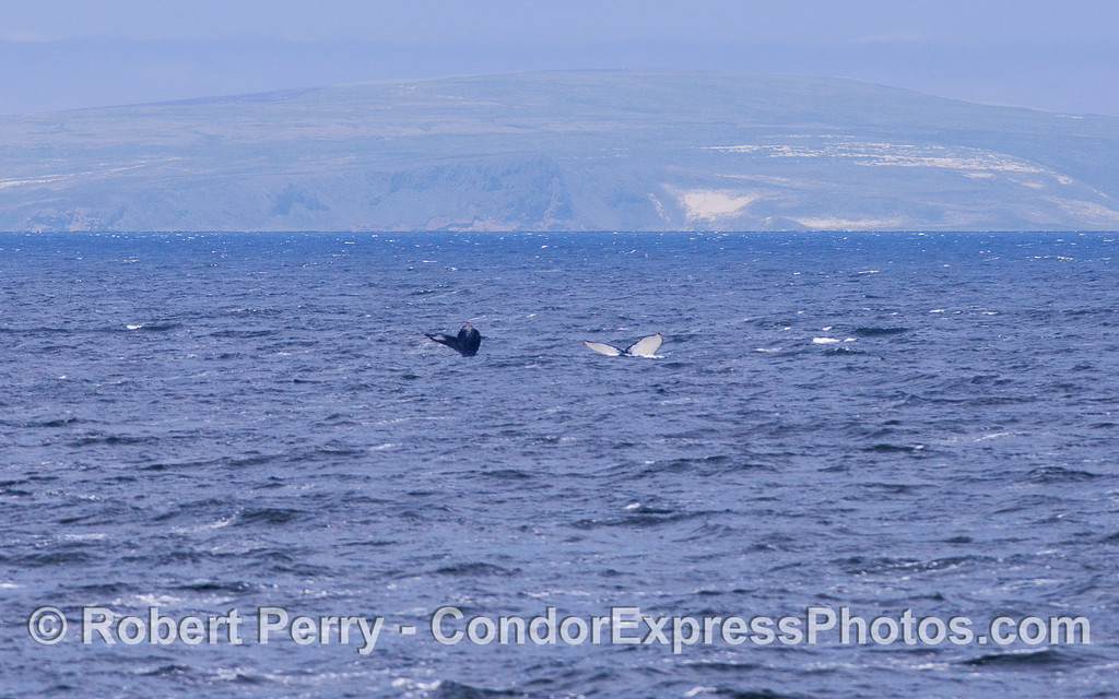 Twin tail flukes of Humpback Whales (Megaptera novaeangliae) and San Miguel Island in back.