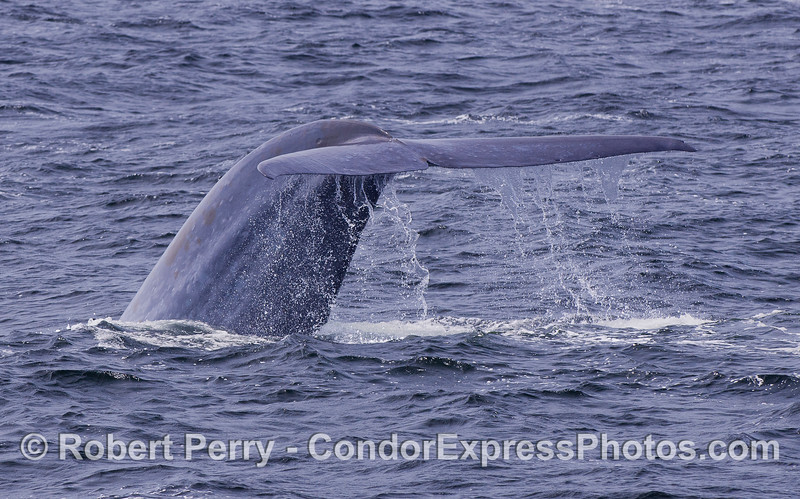 Image 2 of 3 - A rare glimpse at a giant Blue Whale's tail (Balaenoptera musculus).