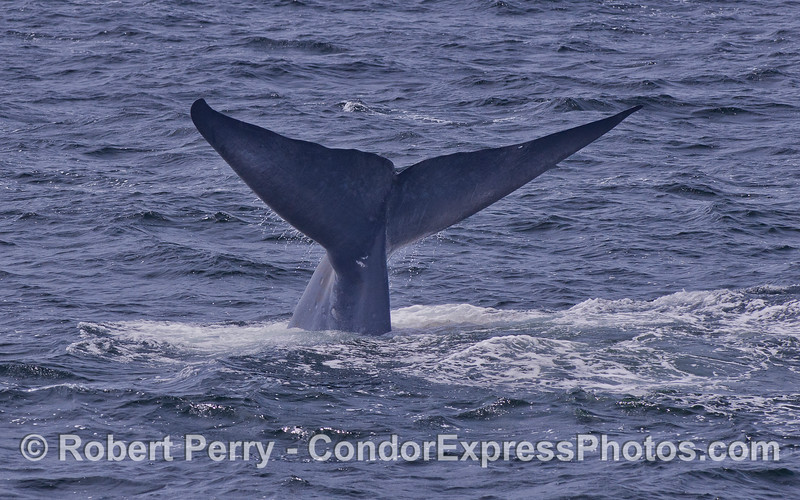 Image 3 of 3 - A rare glimpse at a giant Blue Whale's tail (Balaenoptera musculus).