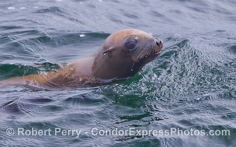A young California Sea Lion (Zalophus californianus).