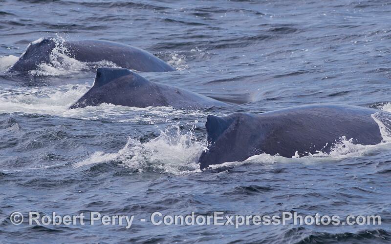 Los tres amigos - Humpback Whales (Megaptera novaeangliae).