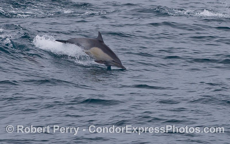 A Common Dolphin (Delphinus capensis).