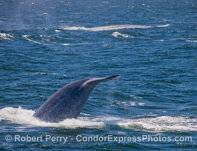 Another look at a Blue Whale (Balaenoptera musculus) tail.