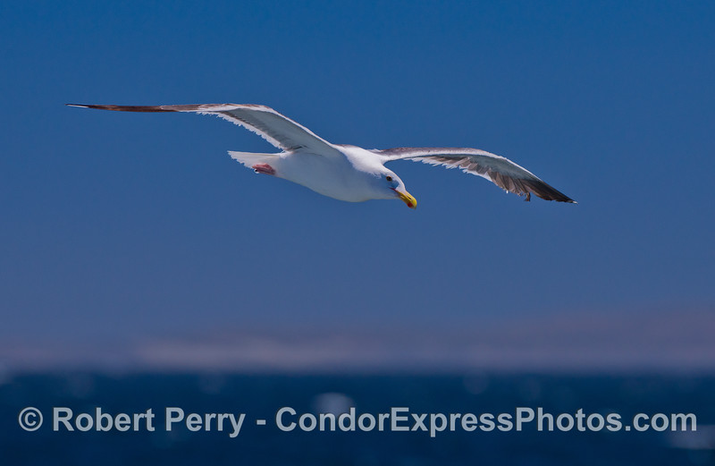 A soaring Western Gull (Larus occidentalis).