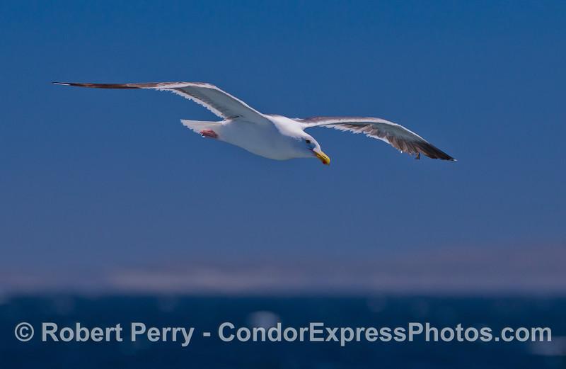 A soaring Western Gull (Larus occidentalis).